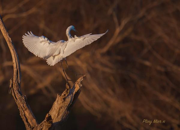 Great Egret Landing_DWL3562.jpg