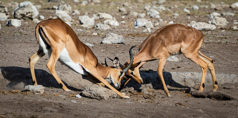 Intense impala infighting