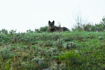 Wolves in the Wild: Junction Butte Pack