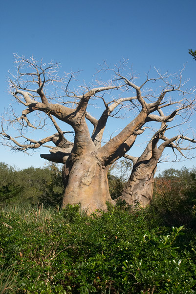 1000-year-old Baobab tree. In Orlando. What are the odds of that?