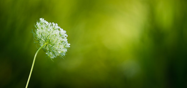 Queen Anne's Lace  Available for purchase as select print sizes or Digital Downloads.