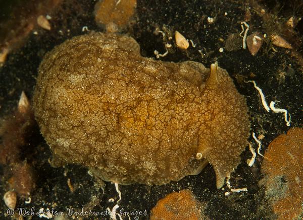 Pleurobranchaea maculata