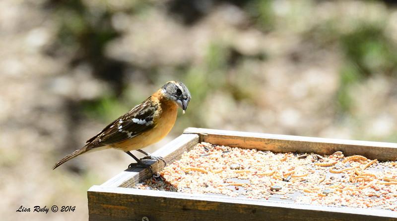 Female Black-headed Grosbeak - 4/13/2014 - Pine Hills, Peter and Millie's