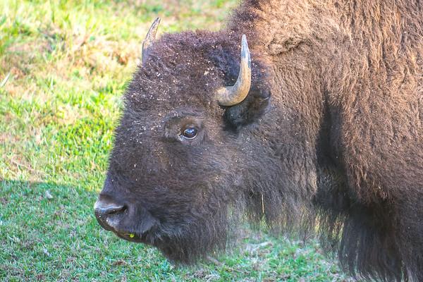 Persimmon Road Buffalo & Donkeys - 11-14-20