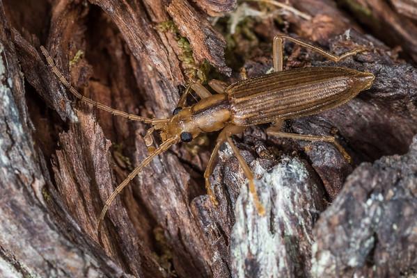 Thelyphassa pauperata