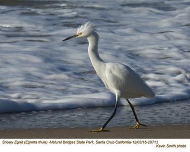 Snowy Egret 28713.jpg