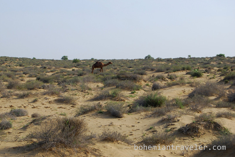 camel in the Thar desert.jpg