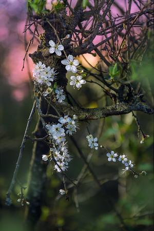 Fine Art natuur foto van een voorjaarsbloem die bloeit in de lente de sleedoorn.