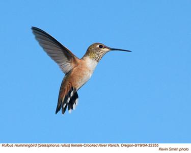 RufousHummingbirdF32355.jpg
