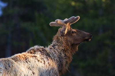 Velvet Elk