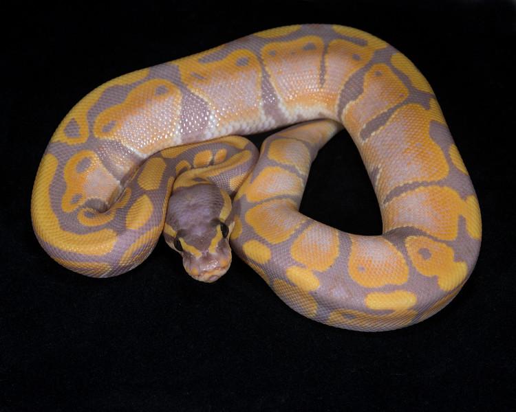 Banana Het Pied M0115, $650