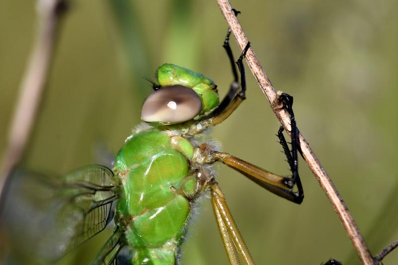 Green-Darner-Dragonfly-Springfield.jpg