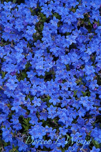 Lithodora diffusa 'Grace Ward'_2509.jpg