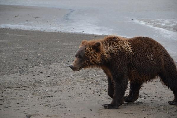 Observación de osos en Alaska