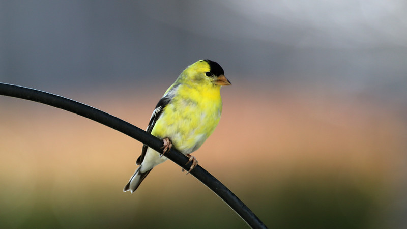 American Goldfinch at home