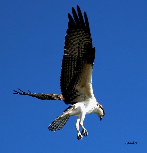 Osprey2 10-16-15 Brauning Lake 1515.jpg