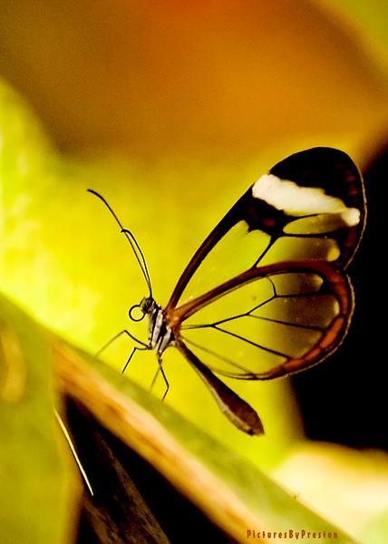 glassbutterfly.jpg