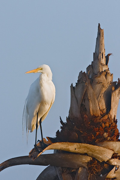 egret sunrise  Vierra  _MG_3533.jpg