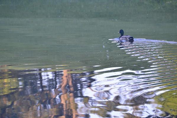 Ducks / Geese