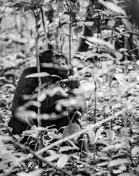 Uganda_T_Chimps-58.jpg