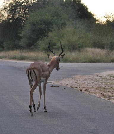 Kruger Deer