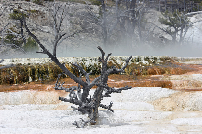petriried trees at Mammoth Hot Spring Terraces