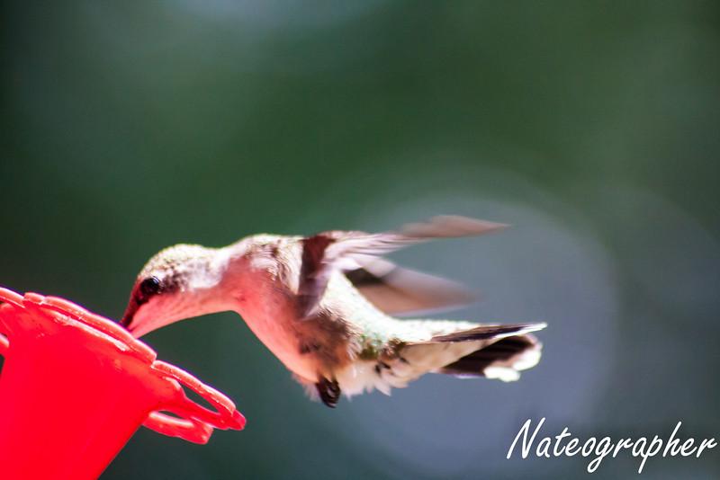 HummingBirds-4320.jpg