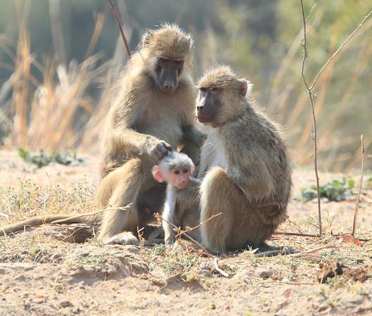 Yellow Baboon Babies Kaingo Zambia 2013 and 2017