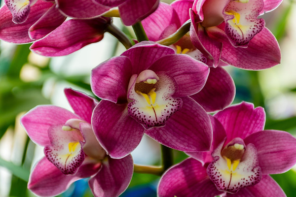 Orchid Show-Harriet Irving Botanical Gardens Acadia