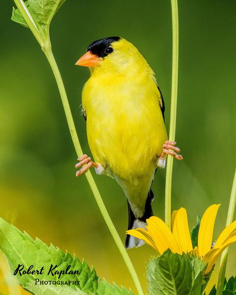 American Goldfinch-7851.jpg