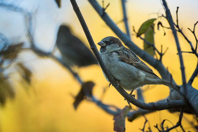 Sparrow at Dunedin Botanical Garden
