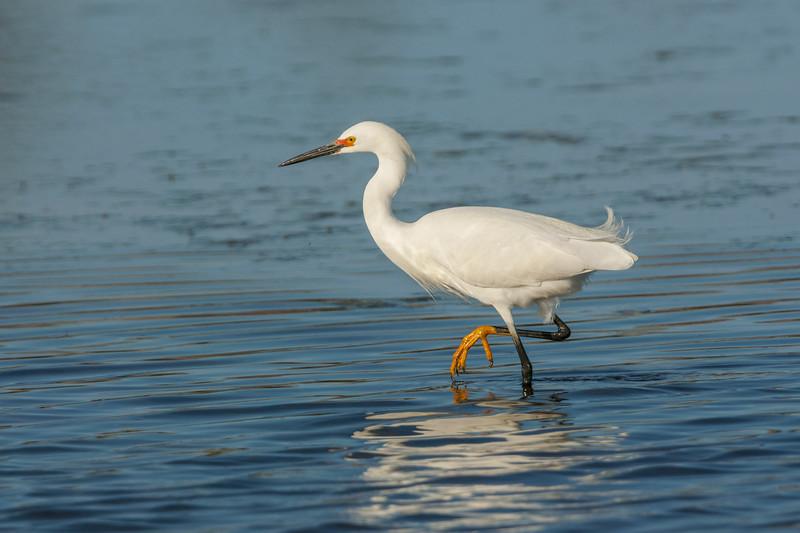 Snowy Egret Walking.jpg