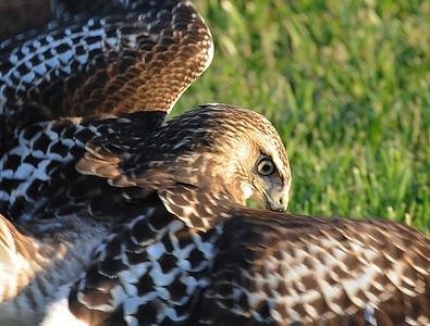 2011 Falcon