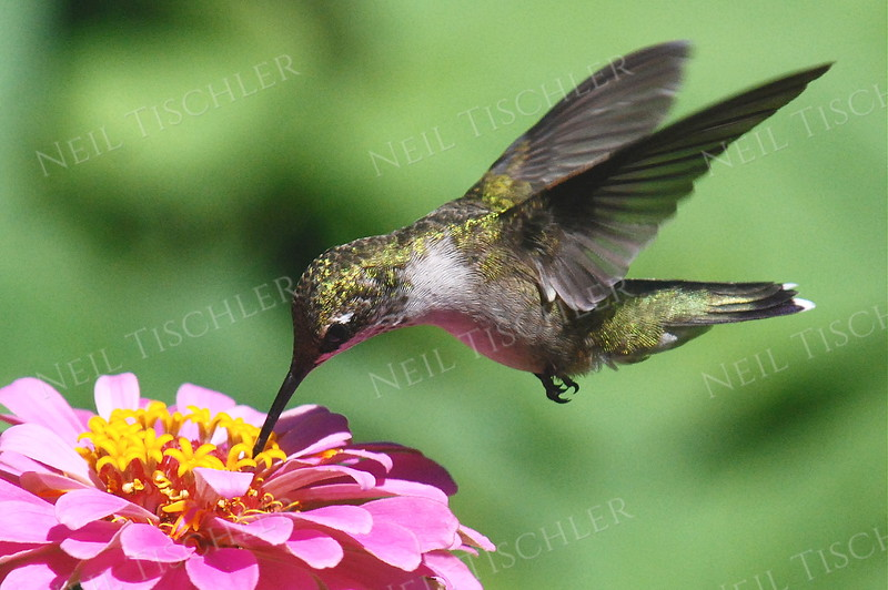 #911  A ruby throated hummingbird sips from a pink zinnia