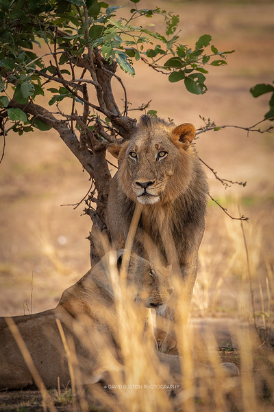 Mfuwe_lions_7784cc2fx-web.jpg