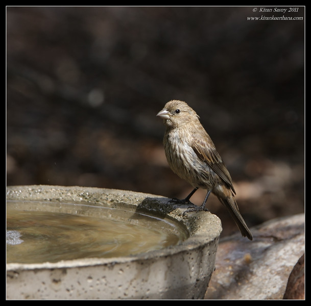 House Finch, The Drip, Cabrillo National Monument, San Diego County, California, June 2011