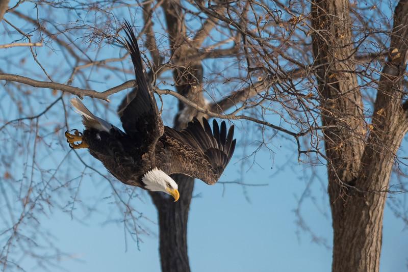 Eagle_DRM0336.jpg