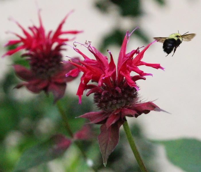 Bee balm and bee 2