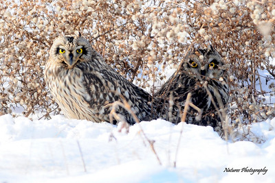 Short-eard Owl