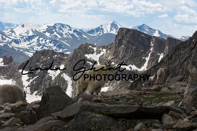 Mount Evans Mountain Goats #14