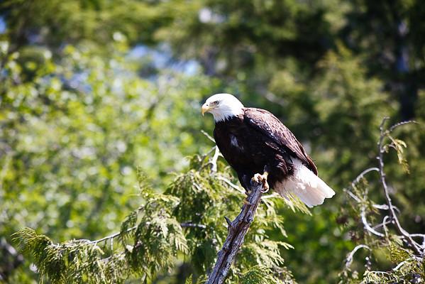 Bald Eagles
