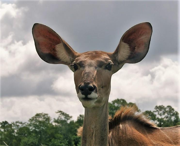 Big Ear Deer.JPG