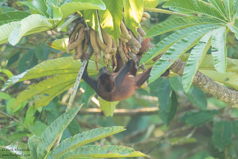 Red Howler Monkey - Amazon, Ecuador