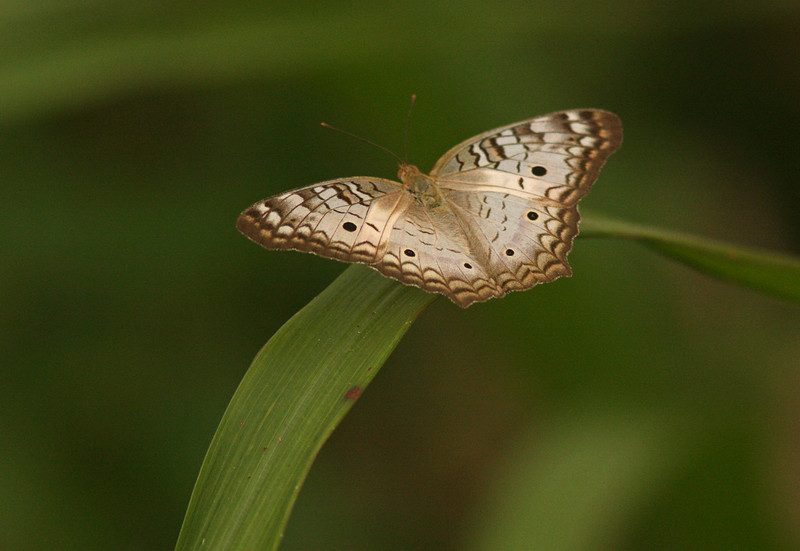 'Peace' Butterfly, near Chagres River