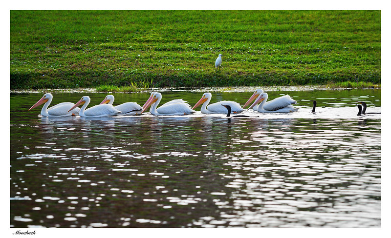 White Pelicans and their Buddies