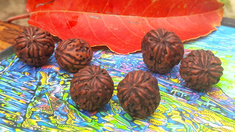 3 pairs of 3- and 4-mukhi Rudrakshas fro. South tree