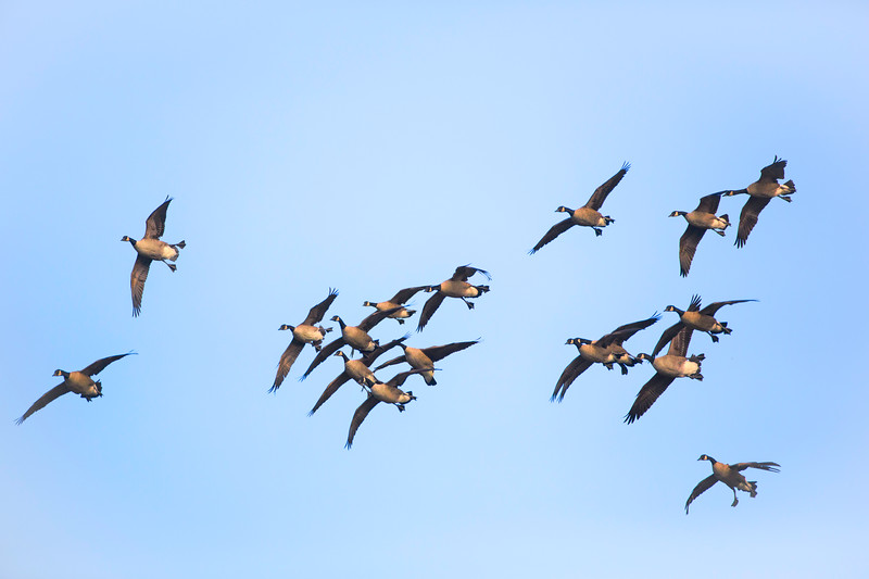 Canada geese, incoming