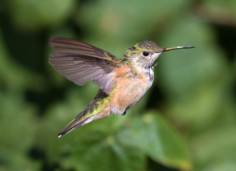 hermannparkhummingbird24.jpg