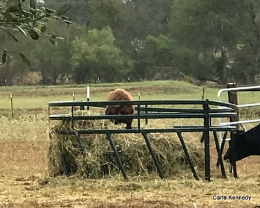 2019 10-11 Neighbors cows all in a row plus Stormer
