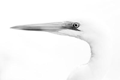 Native N.Z. Birds